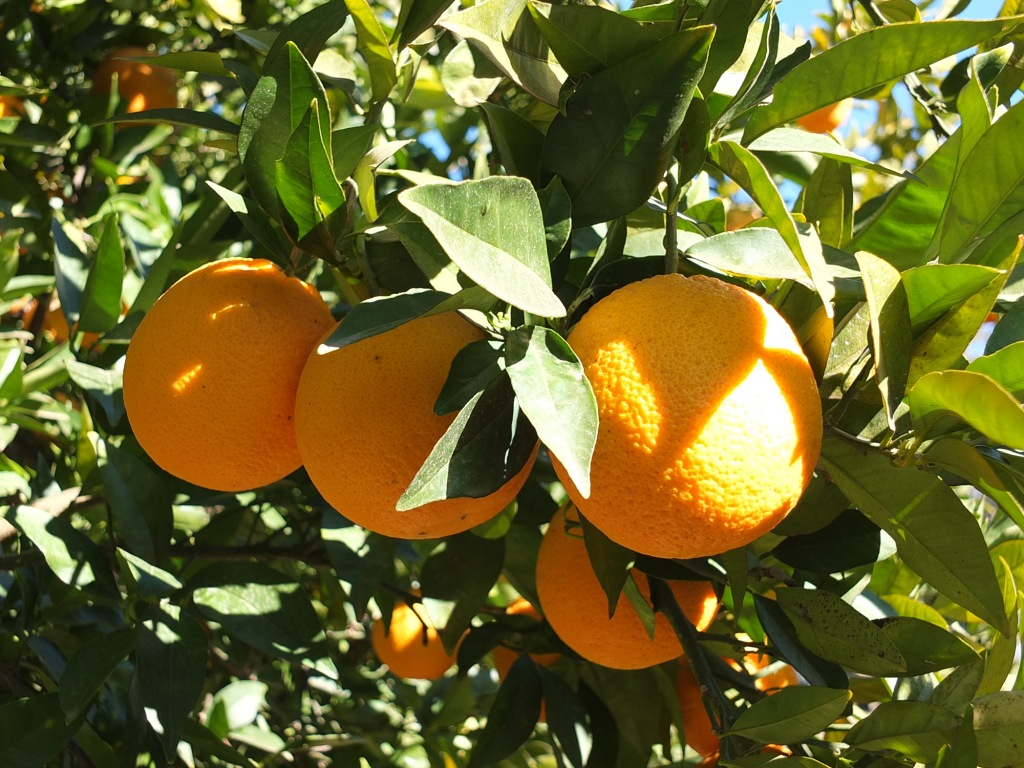 Lachlan Valley Water irrigated foods oranges Forbes NSW